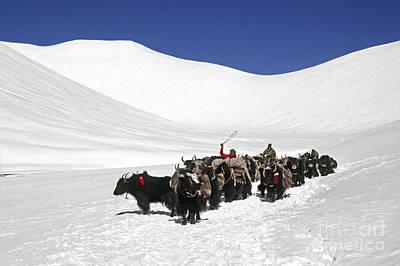 Photograph - Yak Herd Crossing Lar Geh Pass - Tibet by Craig Lovell
