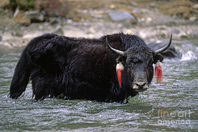 Photograph - Yak In The River - Tibet by Craig Lovell