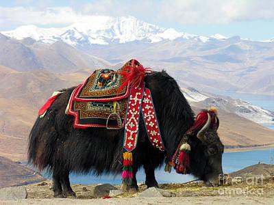 Yak Near Yamdrok Lake Tibet Art Print by Paul Fearn