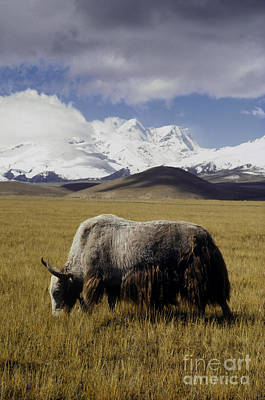Photograph - Yak On The Tibetan Plateau by Craig Lovell