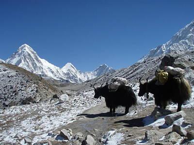 Yak Trains To Everest Base Camp Original by Jon Kedrowski