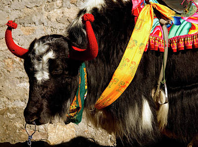 Monastic Photograph - Yak Wearing Knitted Decorative Horn by Jaina Mishra