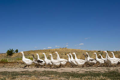 Photograph - Yakacik Mound And Geese by Ali Kabas