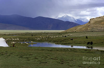 Photograph - Yaks And Sheep - Tibetan Plateau by Craig Lovell