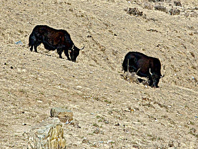 Yak Digital Art - Yaks In Himalayas Along Friendship Highway-tibet   by Ruth Hager
