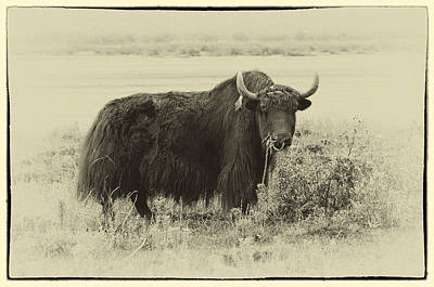 Photograph - Yaks...the Official Animal Of Tibet by Alan Toepfer