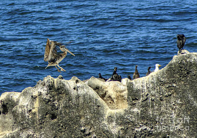 Photograph - Yaquina Head Pelican Landing by Chris Anderson