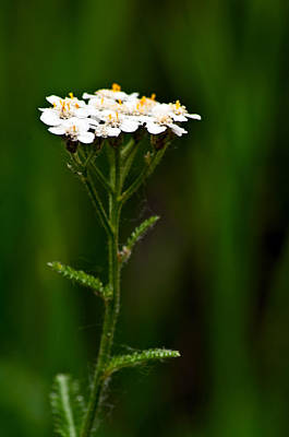 Photograph - Yarrow  by Eric Rundle