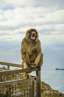 Photograph - Yawning Barbary Ape by Deborah Smolinske