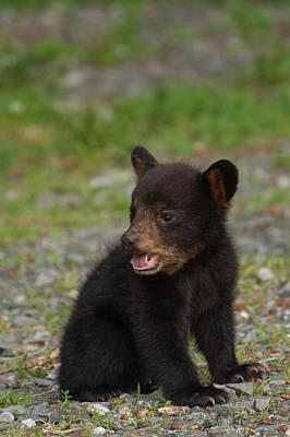 Photograph - Yawning Bear Cub by Joye Ardyn Durham