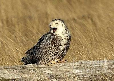 Photograph - Yawning Owl by Terry Horstman