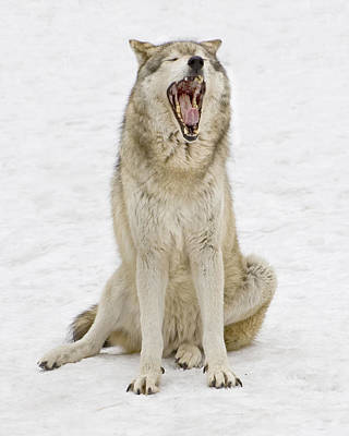 Photograph - Yawning Wolf by Gary Slawsky