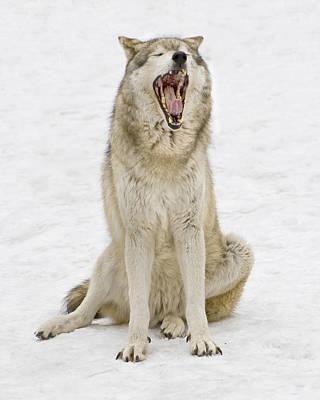 Photograph - Yawning Wolf by Gary Slawsky