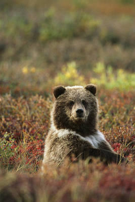 Photograph - Yearling Brown Bear Cub Sits In Autumn by Harry Walker