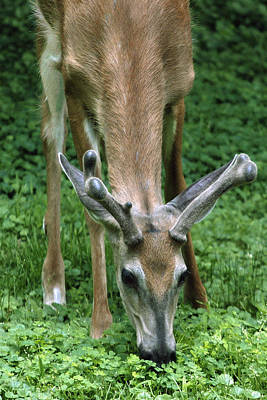 Photograph - Yearling Buck In The Clover by Gene Walls