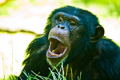 Photograph - Yelling Chimp by Jonny D