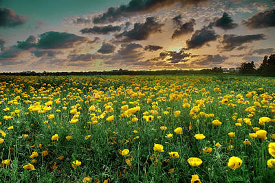 Photograph - Yello Poppies by Meir Ezrachi