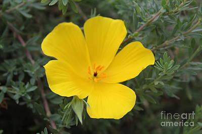 Photograph - Yellow Alpine Flower by David Grant