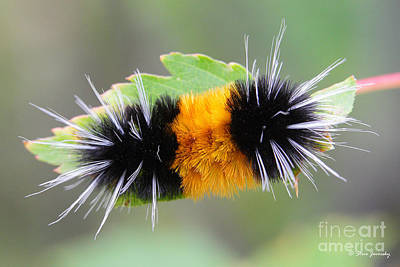 Photograph - Yellow And Black Caterpillar Glacier National Park by Steve Javorsky