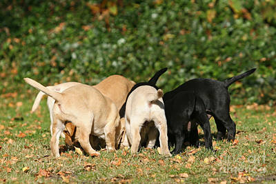 Photograph - Yellow And Black Labrador Retriever Puppies Tails by Dog Photos