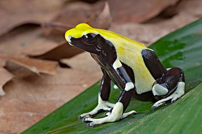 Yellow And Black Poison Dart Frog Original