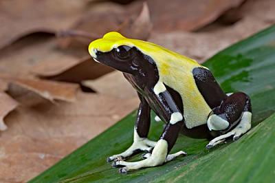 Yellow And Black Poison Dart Frog Original by Dirk Ercken