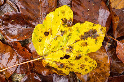 Photograph - Yellow And Brown Foliage In Fall by Matthias Hauser