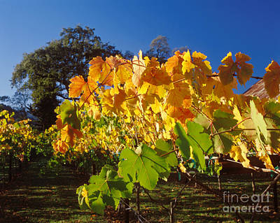 Photograph - Yellow And Green Grape Vines by Craig Lovell