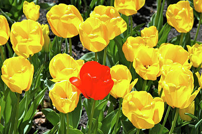 Yellow And One Red Tulip Art Print by Ed  Riche