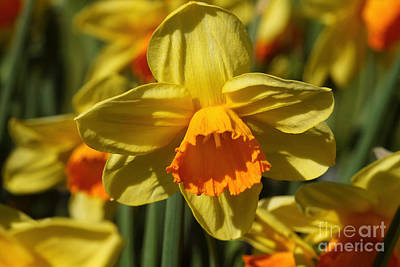 Photograph - Yellow And Orange Daffodil 1 by Rudi Prott