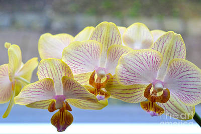 Yellow And Pink Orchids Art Print