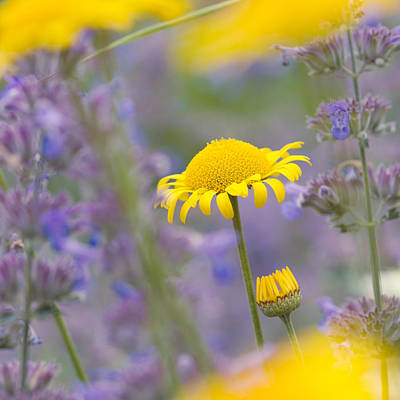 Photograph - Yellow And Purple Flowers On A Beautiful Summer Meadow by Matthias Hauser