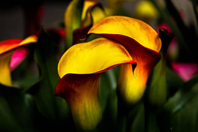 Yellow And Red Calla Lily Art Print by Menachem Ganon