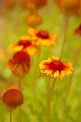 Indian Blanket Coneflower Art Print