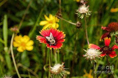Photograph - Yellow And Red Oxeye Daisy 2 by Paul Mashburn