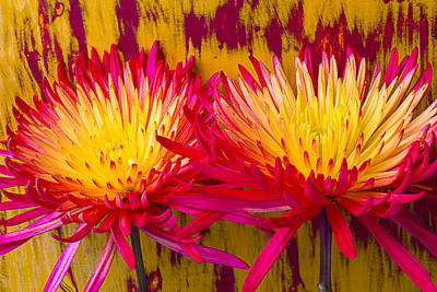 Chrysanthemums Photograph - Yellow And Red Spider Mums by Garry Gay