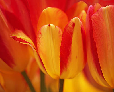 Photograph - Yellow And Red Striped Tulips by Rona Black