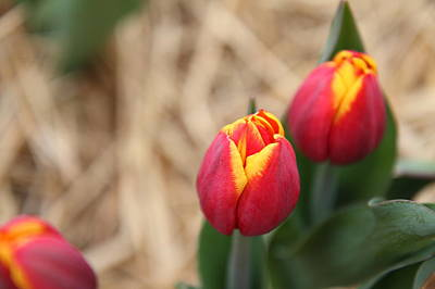 Red Photograph - Yellow And Red Tulip - 01131 by DC Photographer