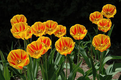 Photograph - Yellow And Red Tulips. by Rob Huntley