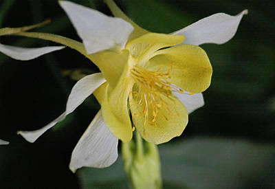 Yellow And White Columbine II In Pastel Original by Suzanne Gaff