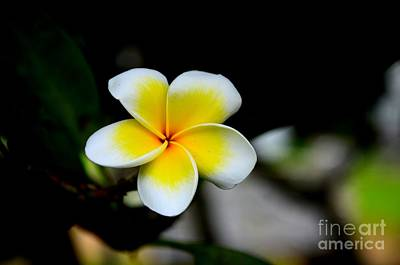 Photograph - Yellow And  White Frangipani Flower by Imran Ahmed