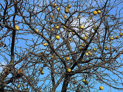 Photograph - Yellow Apples Of Season's End by Terrance DePietro