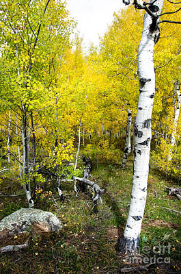 Fort Collins Photograph - Yellow Aspens by Baywest Imaging
