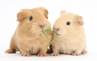 Photograph - Yellow Baby Guinea Pigs Eating Grass by Mark Taylor