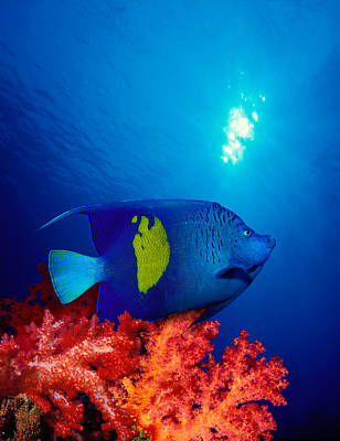 Yellow-banded Angelfish Pomacanthus Art Print by Panoramic Images