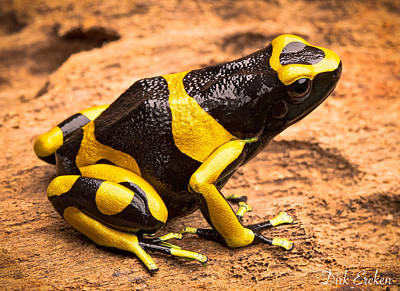 Frogs Photograph - Yellow Banded Poison Arrow Frog by Dirk Ercken