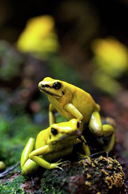 Dart Frogs Photograph - Yellow-banded Poison Dart Frog by Andres Morya Hinojosa