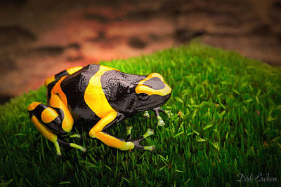 Frogs Photograph - Yellow Banded Poison Dart Frog by Dirk Ercken
