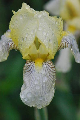 Photograph - Yellow Bearded Iris by Amy Porter