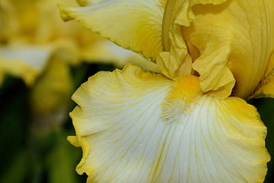 Photograph - Yellow Bearded Iris  by Jeanne May